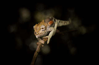 A Ngome dwarf chameleon, endemic to the Ngome Forest, South Africa © Theo Busschau