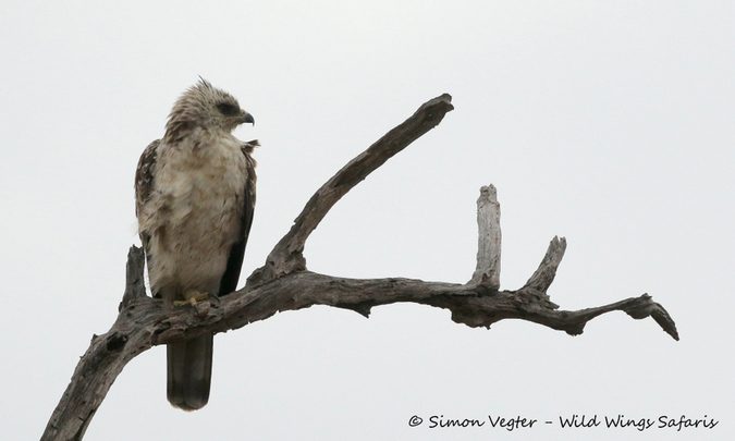 Wahlberg's eagle, Kruger National Park, South Africa