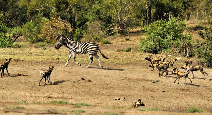 Wild dogs chasing a zebra in Kruger National Park, South Africa