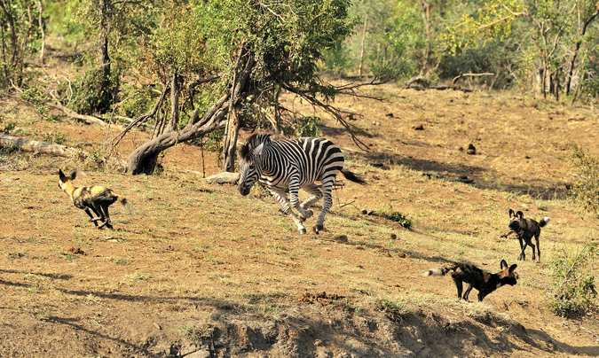 Zebra chases wild dogs in Kruger National Park, South Africa