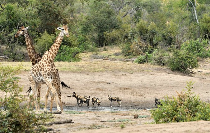 Giraffe and wild dogs in Kruger National Park, South Africa