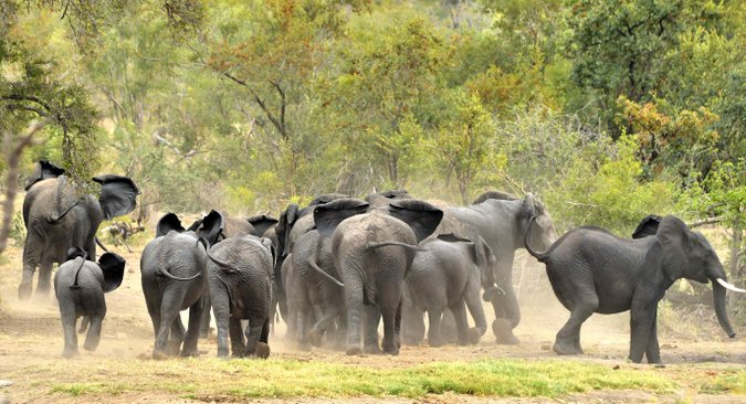 Elephant herd in Kruger National Park, South Africa