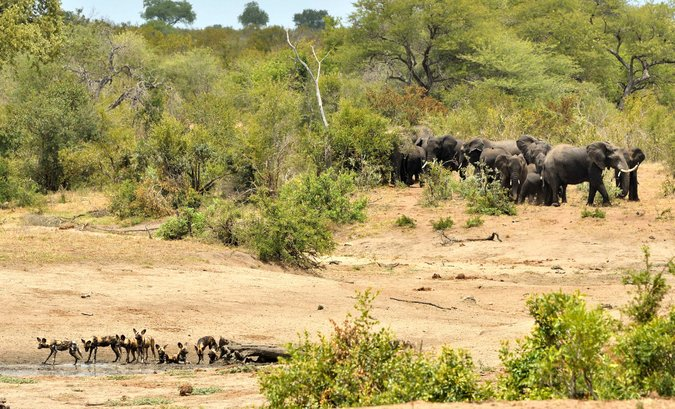 Wild dogs and elephant herd in Kruger National Park, South Africa
