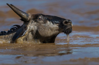 An eye-level shot of a wildebeest crossing a river during the migration in Maasai Mara National Reserve, Kenya © Willem Kruger