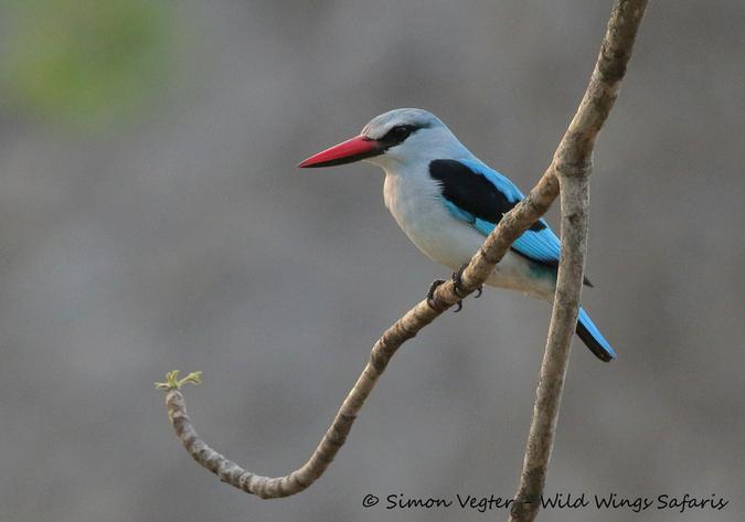 kingfisher, Kruger National Park, South Africa