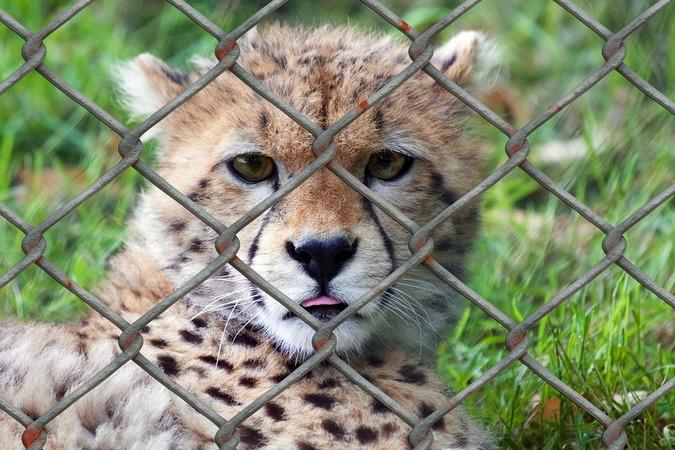 Stock photo of a cheetah at a zoo