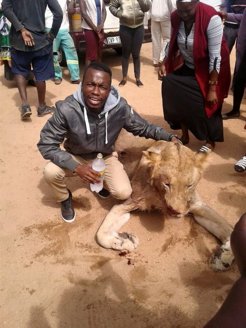 dead lion amongst local community