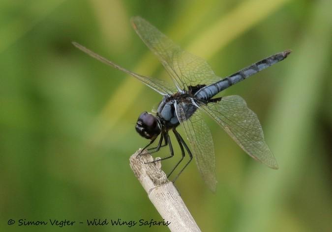 dragonfly, Kruger National Park, South Africa