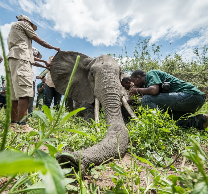 Elephant being collared in Tanzania