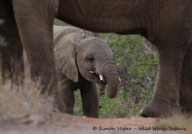 elephant, Kruger National Park, South Africa
