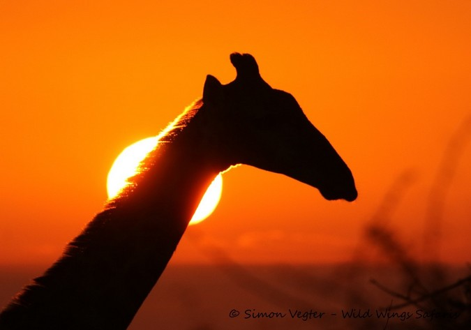 giraffe with sunset, Kruger National Park, South Africa