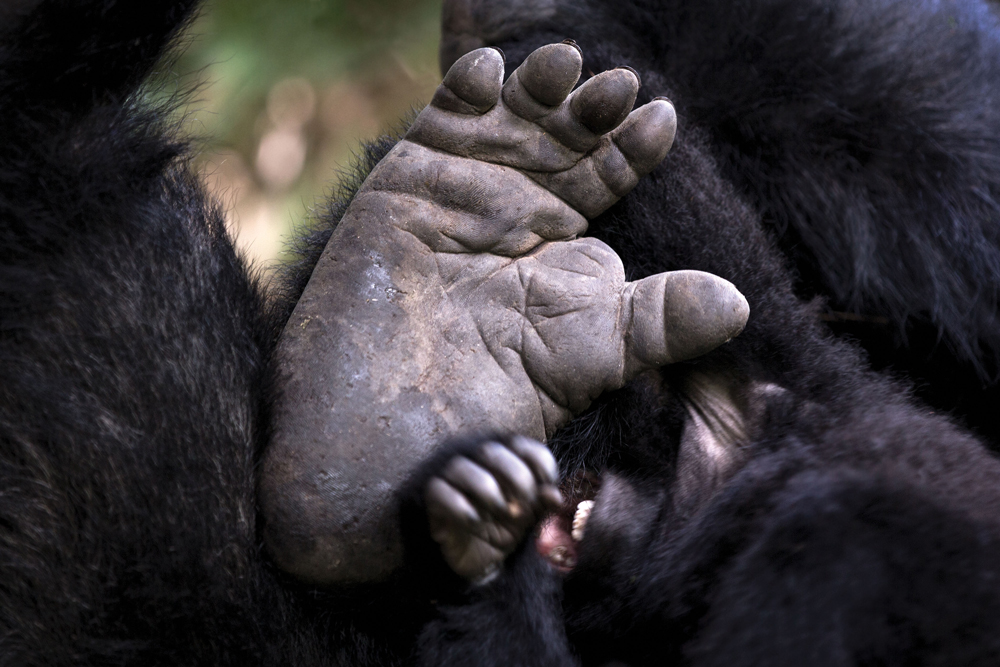A gorilla's foot