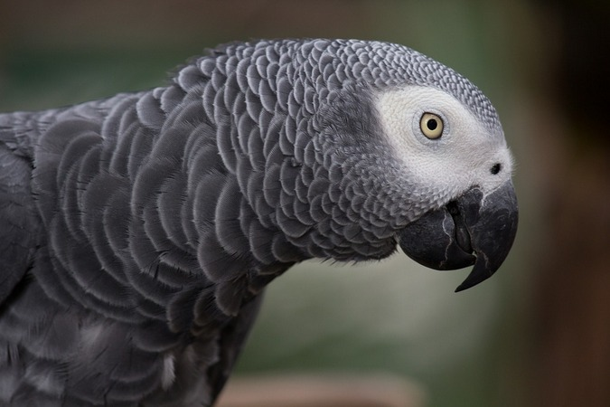 African grey parrot, stock photo