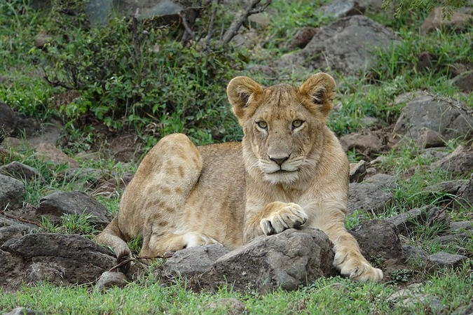 African lion, wildlife