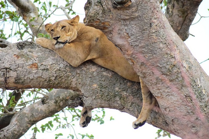 Lion sitting in a tree in Queen Elizabeth National Park, Uganda