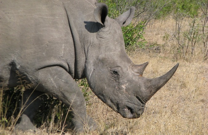 African white rhino in the wild