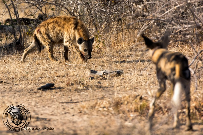 Image of: Spotted Hyena African Wild Dog And Hyena Africa Geographic Video Wild Dogs Take On Menacing Hyenas Africa Geographic