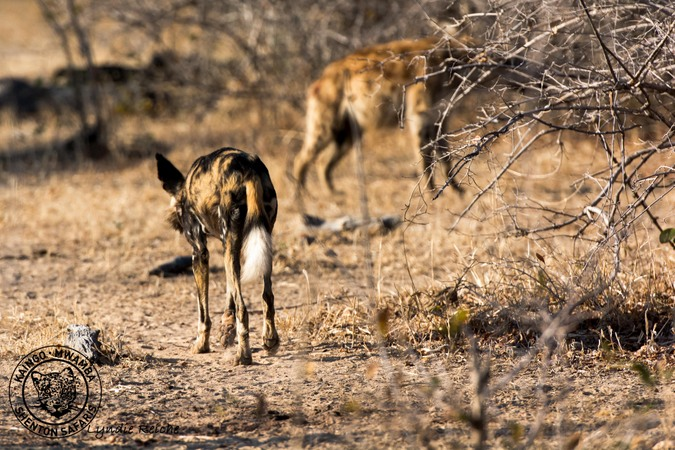 African wild dog approaching hyena