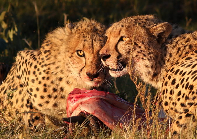 Two cheetah eating prey