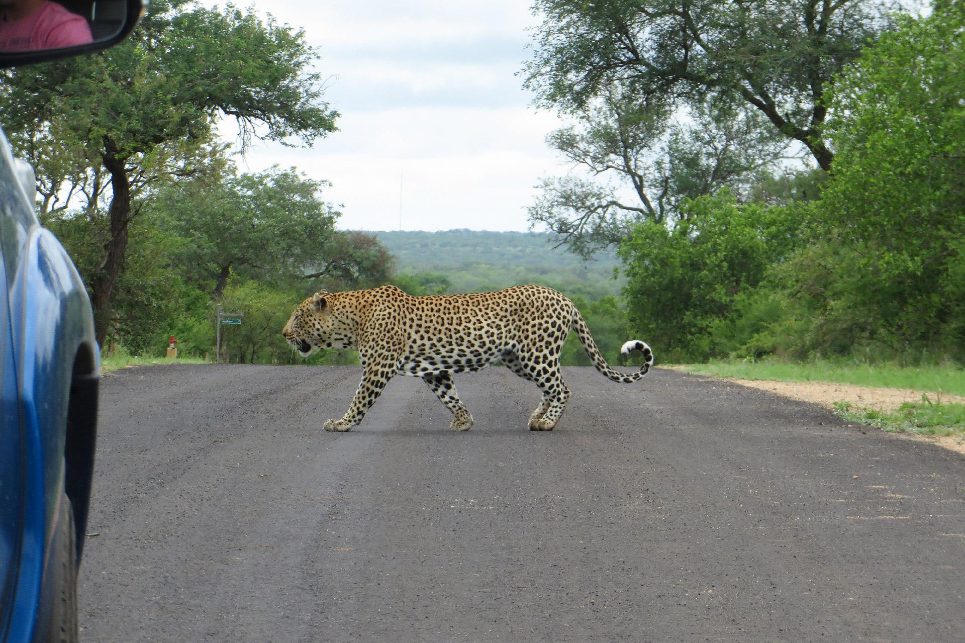 A relaxed Big Boy strolls confidently across a road