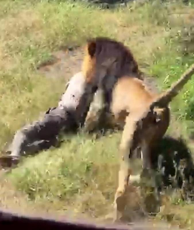 Caged lion attacks man