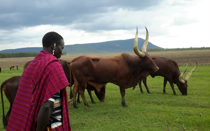 Maasai warrior with cattle in Kenya