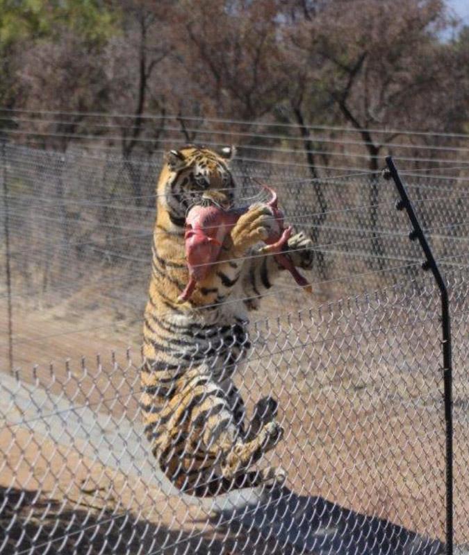 Tiger being fed at Marakele Predator Park