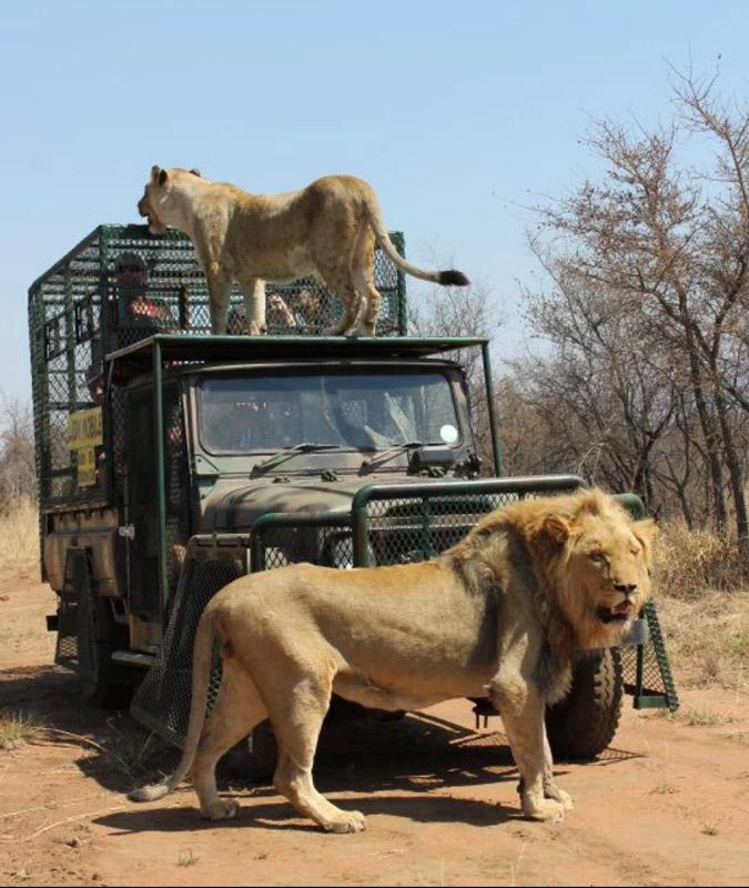 Caged lions at Marakele Predator Park