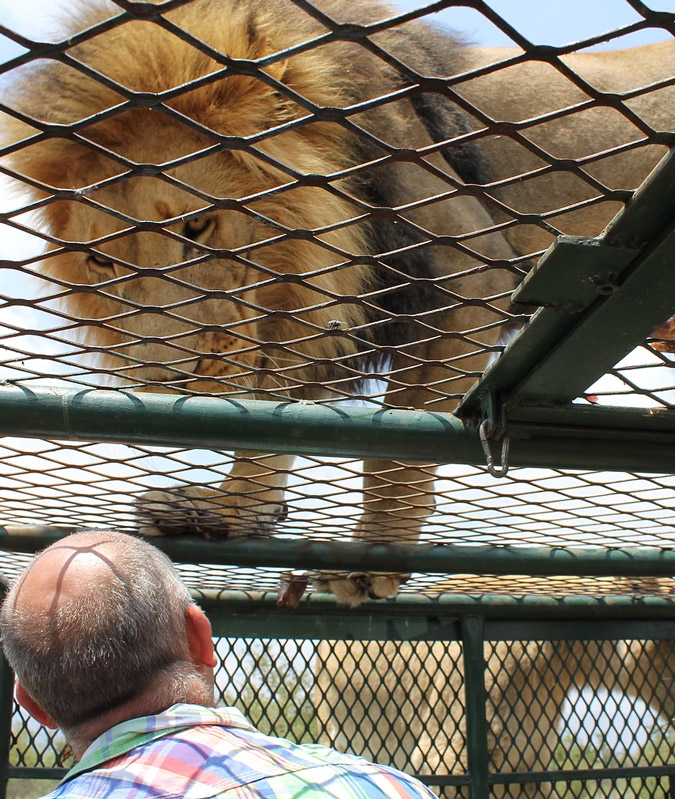 Video: Lion attacks man as visitors to lion park scream in