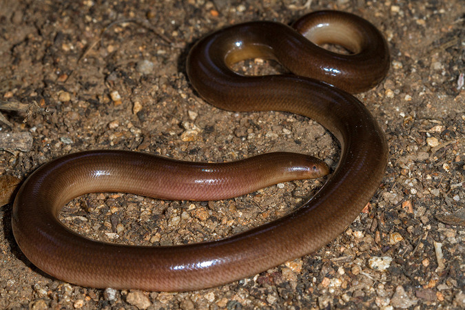 Bibron's blind snake, reptile, snakes of southern Africa