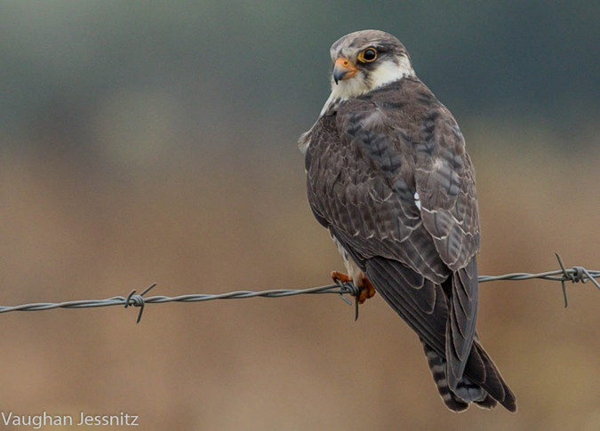 Amur falcon, bird migrant to southern Africa