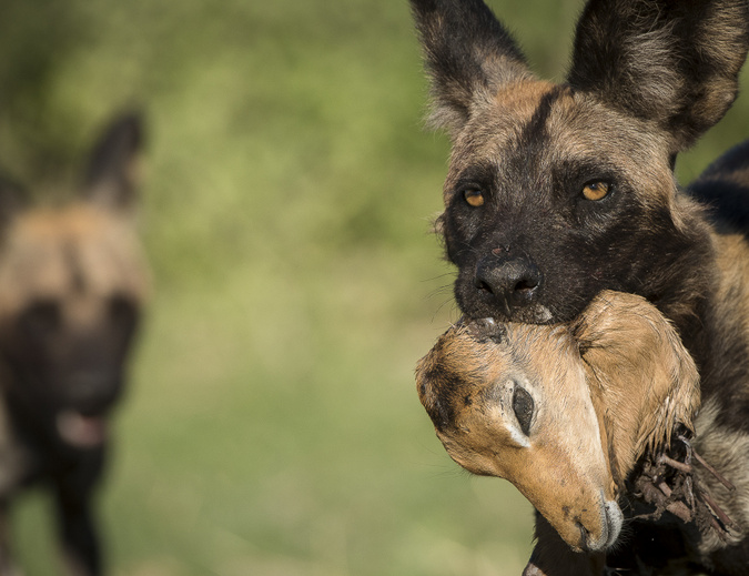 African wild dog carrying impala head in Khwai Concession, Botswana, African wildlife photography