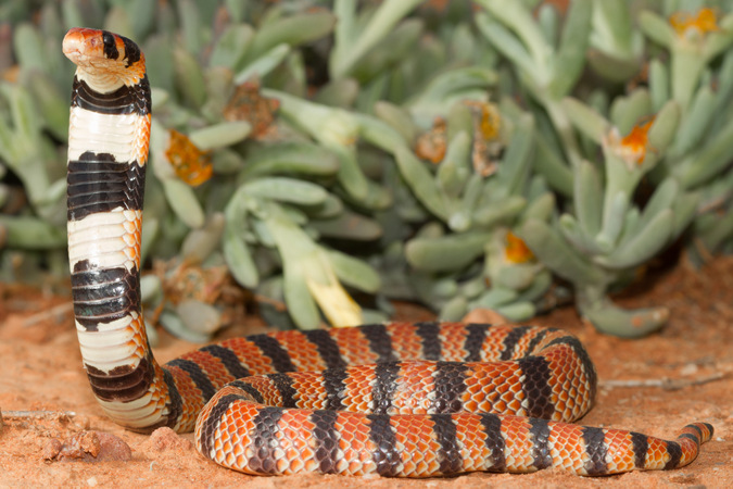 Coral shield cobra, reptile, snakes of southern Africa