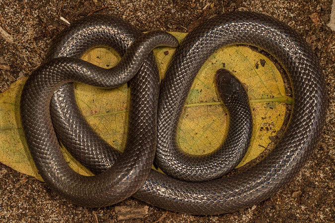 Bibron's stiletto snake, reptile, snake of southern Africa