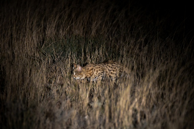 Black-footed cat in the wild, Kimberley, Northern Cape, South Africa