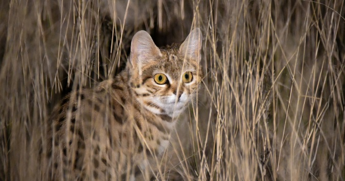 9 Fascinating facts about black-footed cats - Africa Geographic
