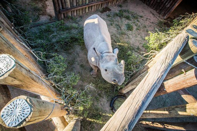 Black rhino in a boma