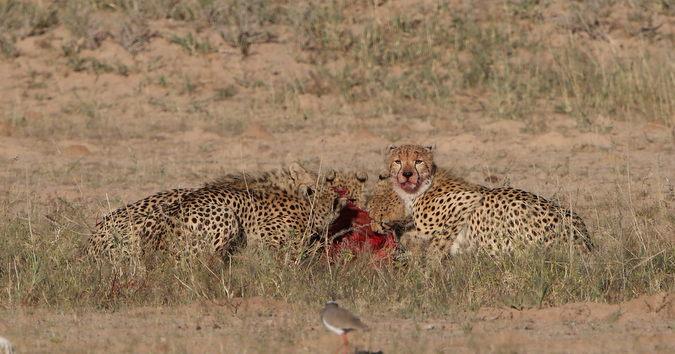 Five cheetahs eating a kill