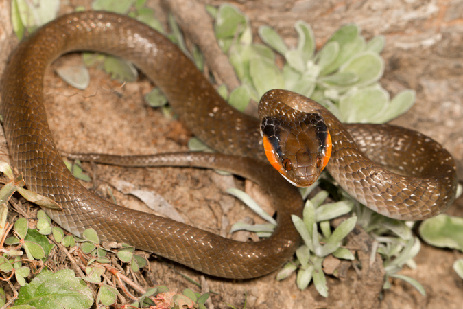 Herald snake, reptile, snake of southern Africa