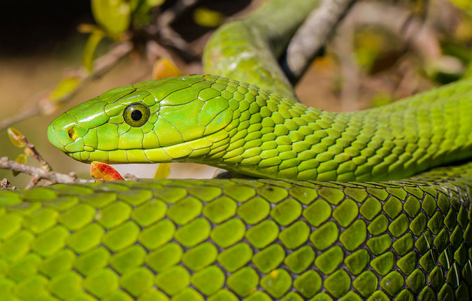 Green mamba, reptile, snake of southern Africa