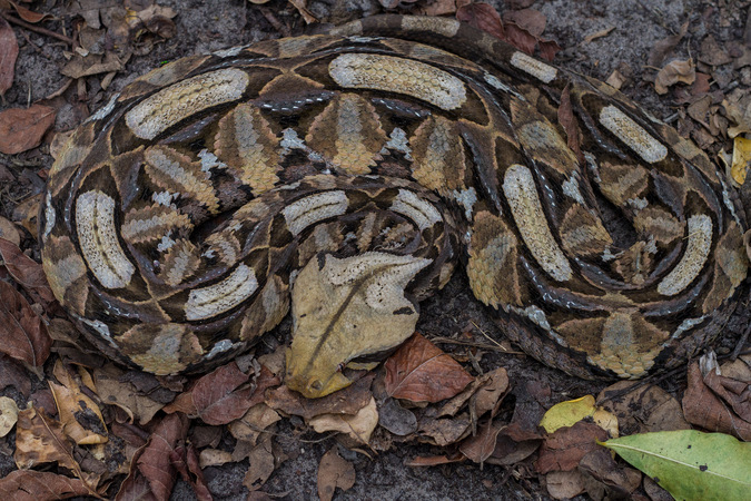 East African gaboon adder, reptile, snake of southern Africa