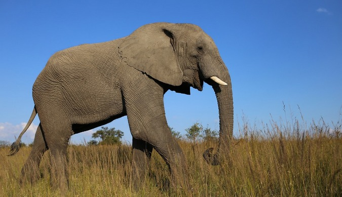 Stock photo of an elephant in Zimbabwe game reserve