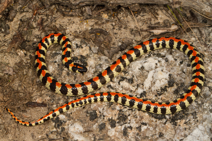 Spotted harlequin snake, reptile, snake of southern Africa
