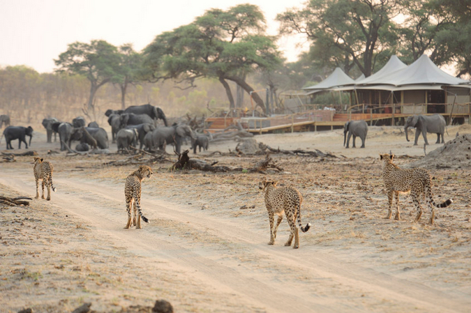 Cheetahs and elephants in Hwange