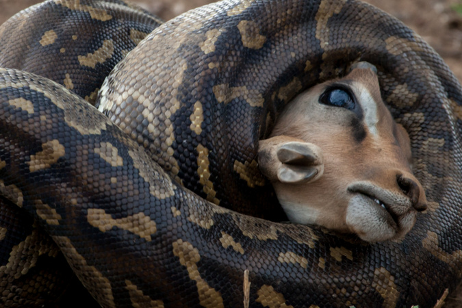 African rock pythons suffocating impala in Kruger National Park, South Africa, African wildlife photography