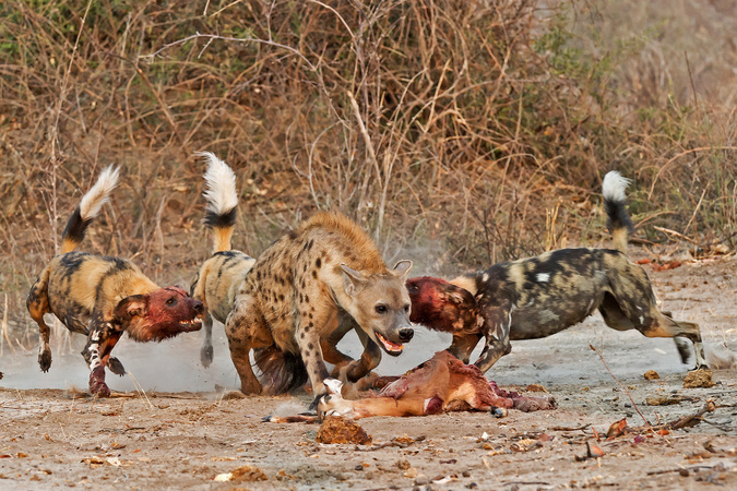 Three wild dogs attacking hyena in Savute, Botswana, wildlife photography