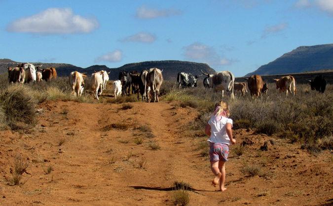 Nguni cattle in Karoo, South Africa