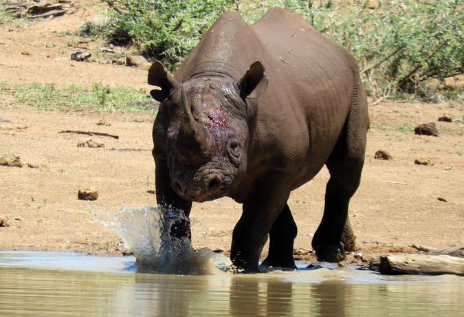 Black rhino bull walking into waterhole
