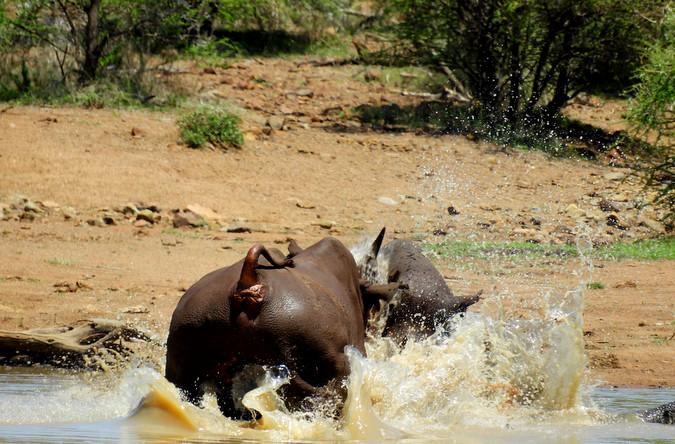 Black rhino bulls fighting in water