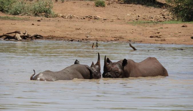 Two rhinos in waterhole